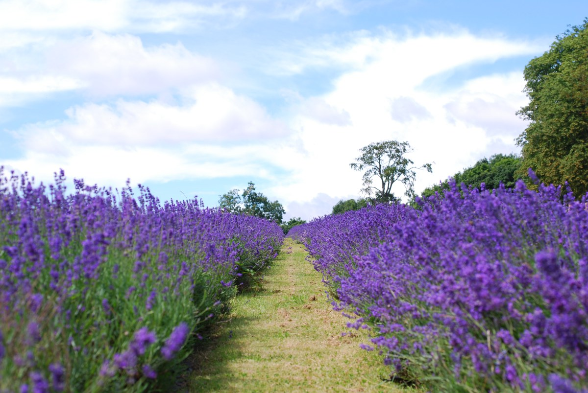 lavender field london